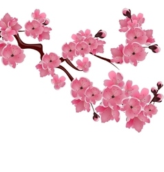 Flowering japanese cherry sprig of pink sakura vector