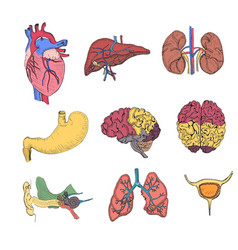 hand drawn coloured set with human organs vector image