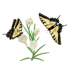 White crocus flowers vector