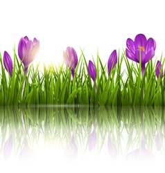 Green grass lawn violet crocuses and sunrise with vector
