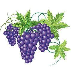 Grapevine design vector