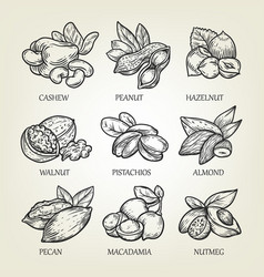 sketch of different kinds of nuts vector image