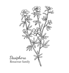 Ink dasiphora hand drawn sketch vector