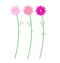 Three Pink Cosmos Flowers on White Background vector image