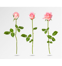 realistic pink rose set three 3d roses on vector image vector image
