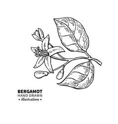 Bergamot flower branch drawing isolated vector