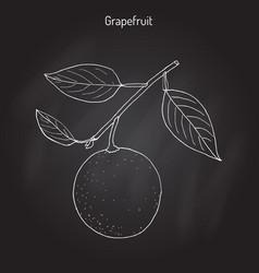 Grapefruit citrus paradisi subtropical citrus vector