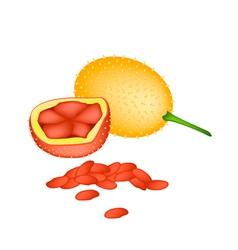 Fresh orange baby jackfruits on white background vector