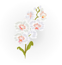 Branches orchid phalaenopsis white flowers vector