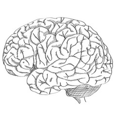 Human brain outline sketched up vector