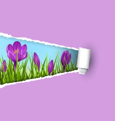 Green grass lawn with violet crocuses and ripped vector