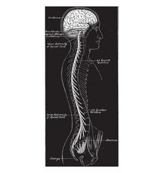 Central nervous system vintage vector