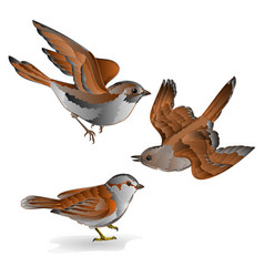 Little birds cub sparrow passer domesticus vector