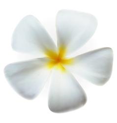 Frangipani plumeria Spa Flower isolated on white vector image