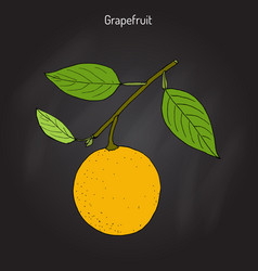 grapefruit citrus paradisi subtropical citrus vector image