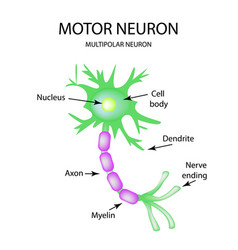 The structure of the motor neuron infographics on vector