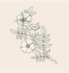 elegant drawing of dog rose flowers with stem and vector image