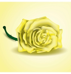 Yellow rose flower as close up vector image