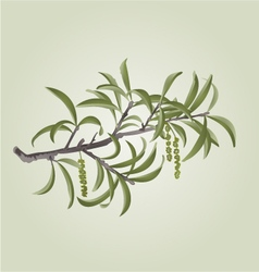 Willow branch with catkins natural background vector