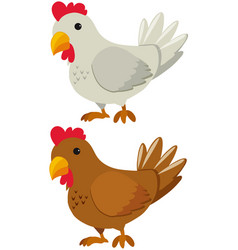Chicken with white and brown feather vector