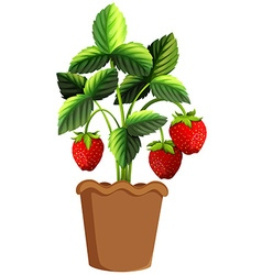 Strawberry plant in clay pot vector image