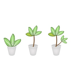 Dieffenbachia Picta Marianne Plant in Three Flower vector image