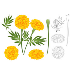 marigold flower outline vector image