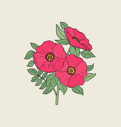 detailed drawing of beautiful dog roses growing on vector image vector image