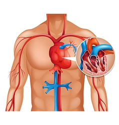 Zoom out of human heart vector image vector image