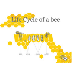 Life cycle of a bee vector