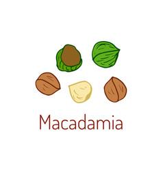 macadamia nuts hand drawn vector image