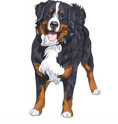 Bernese mountain dog standing and smiling vector image