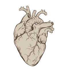 hand drawn anatomically correct human heart vector image vector image
