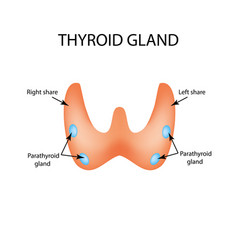 Anatomical structure of the thyroid and vector