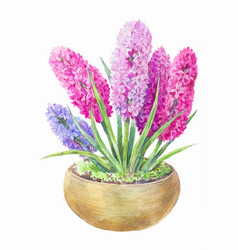 watercolor hyacinth in a pot hand drawn painting vector image