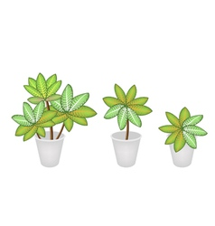 Dieffenbachia Picta Marianne Plants vector image