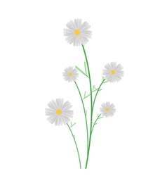 Cute white cosmos flowers on white background vector