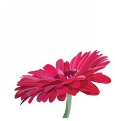 Gerbera pink flower isolated on white vector