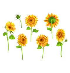 Set of sunflower plant isolated on white vector