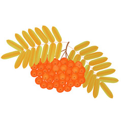 bunch of rowan berries with yellowed leaves vector image vector image