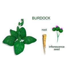 Burdock vector