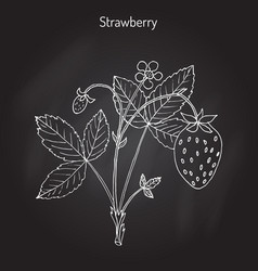 Garden strawberry fragaria ananassa vector