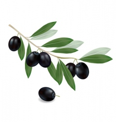 Olives black vector