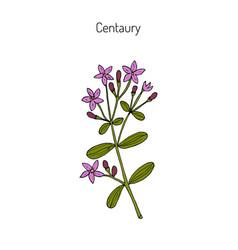 European centaury medicinal herb vector