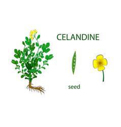 Celandine vector
