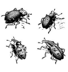 cleonus vector image vector image