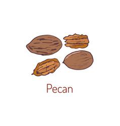 Pecan nuts hand drawn vector