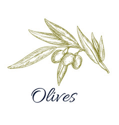 olive branch with fruit and leaves sketch vector image