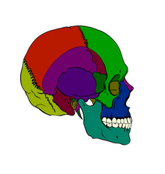 Colored human skull with a lower jaw vector