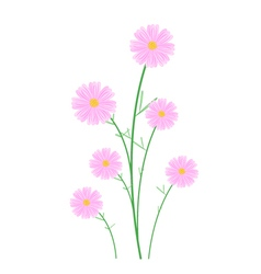 Light Pink Cosmos Flowers on White Background vector image vector image